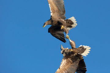 White-tailed Sea Eagles fighting.