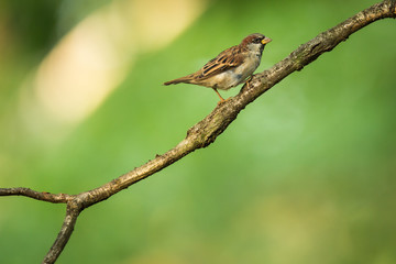 House Sparrow (Passer domesticus) on a branch against lush green