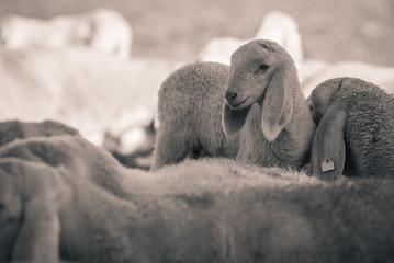 lamb - black and white photo