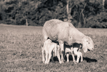 little lambs with mother - black and white photo