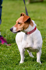 Jack Russell dog being walked on lead