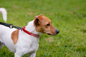 Jack Russell dog being walked on lead portrait