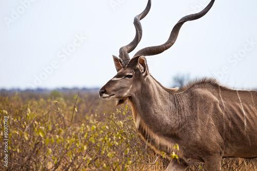 Fotobehang Antilope Greater kudu, Kalahari desert, Botswana