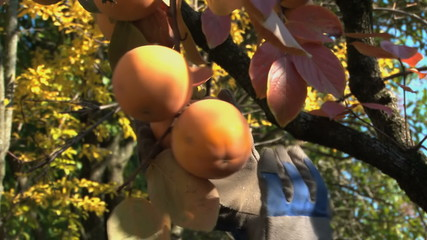 Man's hands with gloves picking persimmons (kaki) from the tree