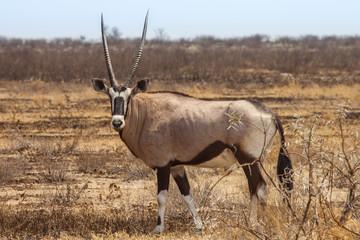 Gemsbok, Oryx gazelle, Kalahari desert, Botswana.