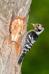 Lesser spotted woodpecker with insect food at nesting cavity