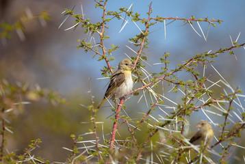 African Yellow Finch Kalahari, Botswana