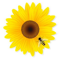 Sunflower and bee isolated on white background.