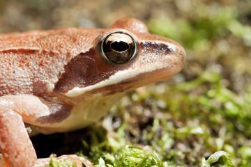 Rana Temporaria - Brown Frog on Green Moss