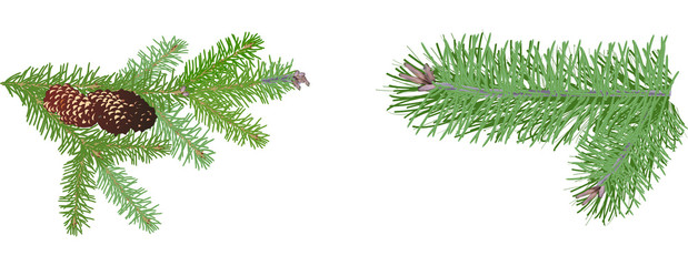 two green pine branches isolated on white