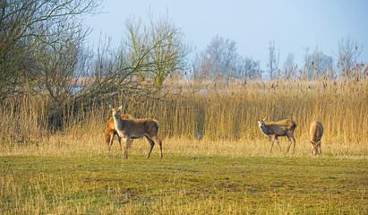 Red deer grazing in a field near a lake