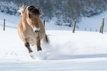 Pferd galoppiert im Schnee
