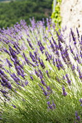 Lavender growing on a hillside in the South of France
