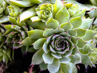 Succulent Cactus Plant