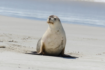 Young Cute Seal