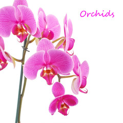 Pink orchid flower plant on a white background