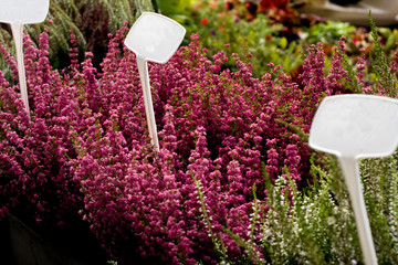 Baskets of bright colors of heather on a sunny day