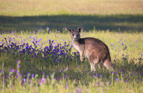 Deurstickers Kangoeroe Kangaroo in a field of flowering bushland
