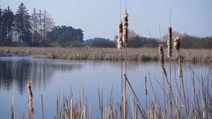 Reeds in the wind on the shore of the pond