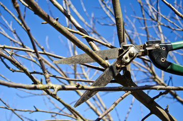 cut trim prune apple tree branch in spring with scissors