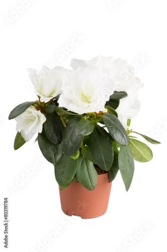 Papiers peints Azalea blossoming white mini-azalea