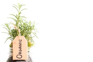 Organic plant of rosemary
