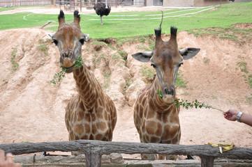 Beautiful tall giraffe