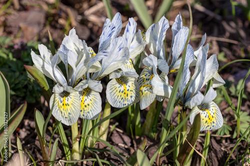 Foto op Canvas Iris iris in spring day