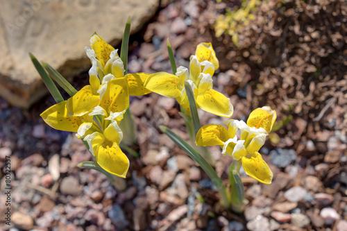 Foto op Canvas Iris iris closeup
