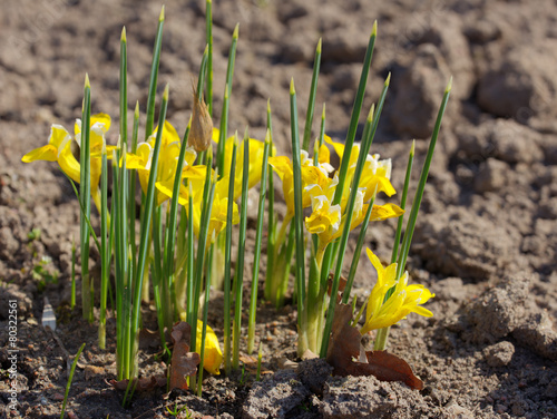 Foto op Canvas Iris yellow spring