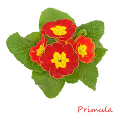 flower primrose violets isolated on white