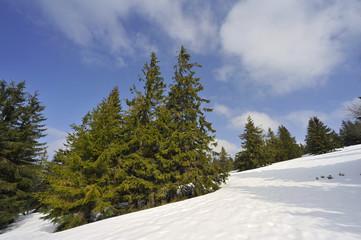 Sapin sur pente enneigée, Vosges