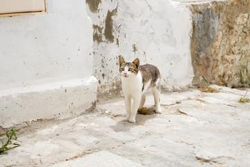 White and gray cat walking the streets of Sidi Bou Said, Tunisia