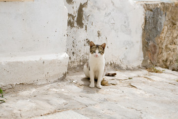 White and gray cat walking the streets of Sidi Bou Said, Tunisia