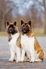 two american akita dogs sitting outdoors
