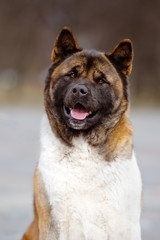 happy looking american akita dog portrait