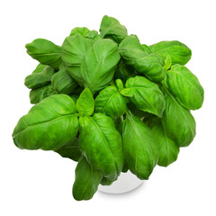 Fresh green basil in a pot isolated on a white background