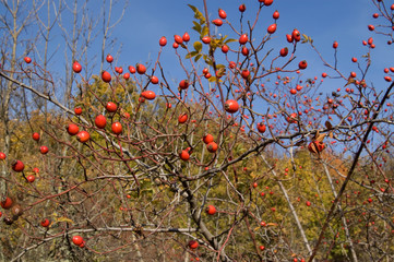 Branches of wild rose