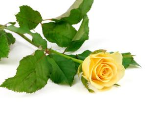 beautiful yellow rose isolated on white background.