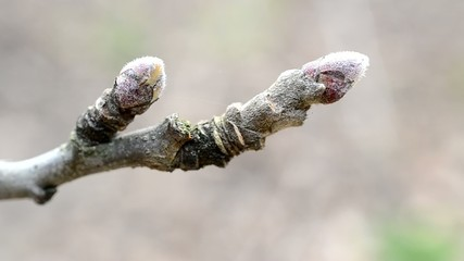 Malus domestica. Close-up of buds on apple tree branch in spring