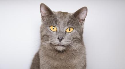 Ritratto in studio di un gatto certosino