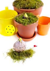 Preparation for planting hyacinths