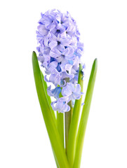 Blue hyacinth on white background
