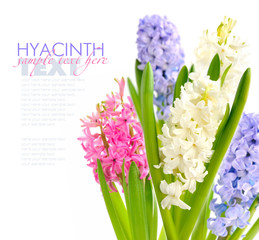 Group multicolored hyacinths on a white background