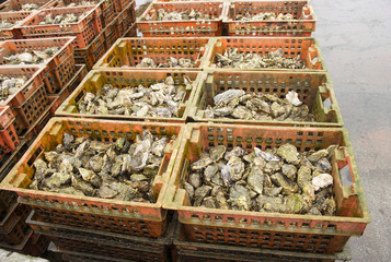 oyster culture in the dutch place yerseke