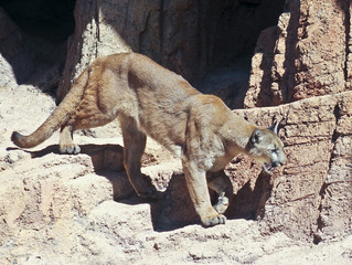 A Mountain Lion on a Rock Face