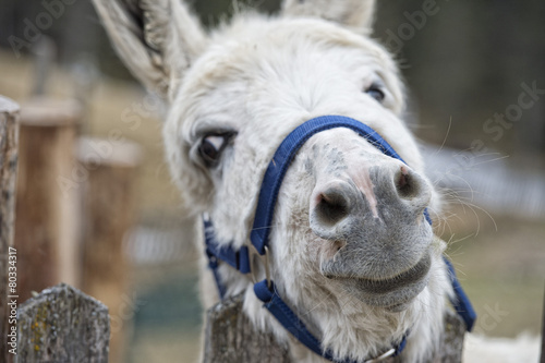 In de dag Ezel white donkey portrait