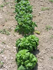 Array of basil varieties