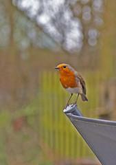 Robin,Erithacus Rubecula.