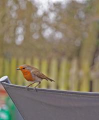 Garden birds,Robin.
